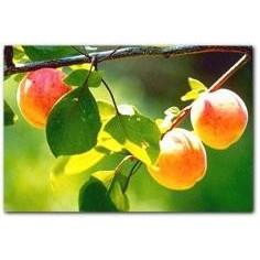 Huile de noyaux d'abricot vierge
