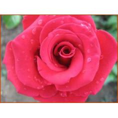 Hydrolat de Roses de Damas