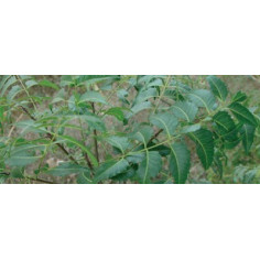 Feuilles de neem séchées