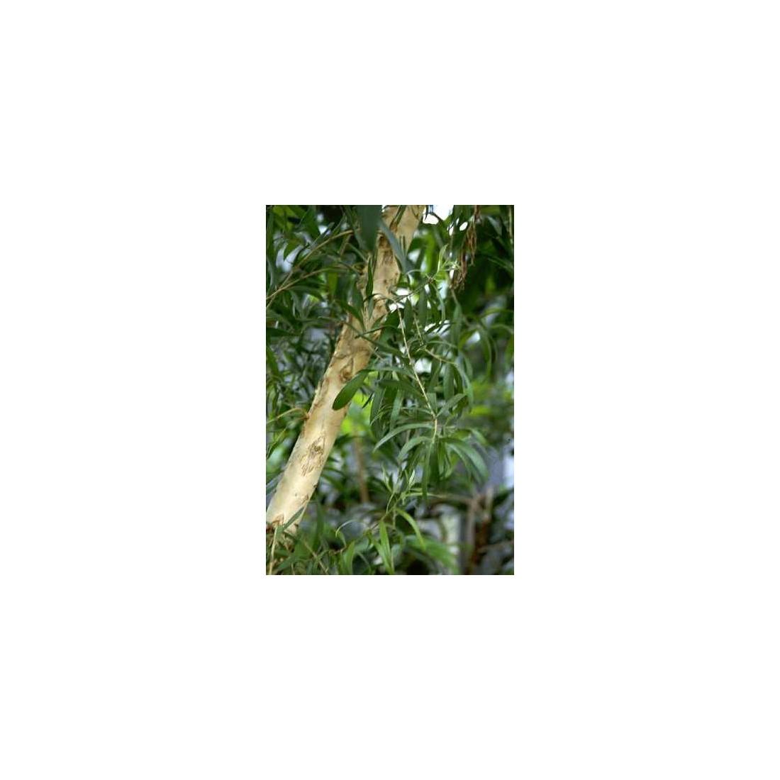 Huile essentielle tea tree madin beauty - Huile essentielle tee tree ...