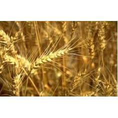 Huile vierge de Germes de blé