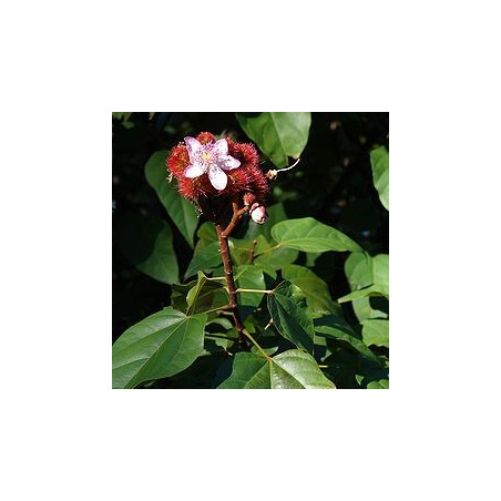 Roucou - fleur et fruits